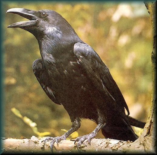اعشاش الطيور الجزء الاول Crowontree